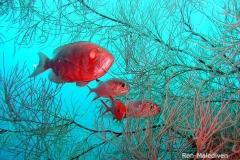 9-naam-vis-malediven-fraai-kiekje-ron